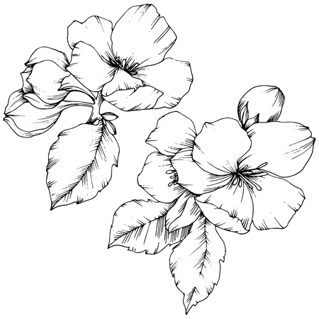 Vector Apple blossom floral botanical flower. Wild spring leaf wildflower isolated. Black and white engraved ink art. Isolated flowers illustration element on white background.