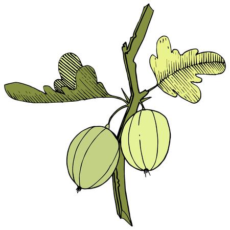 Vector Black and white engraved ink art. Isolated gooseberry illustration element. Green leaf. Leaf plant botanical garden floral foliage.