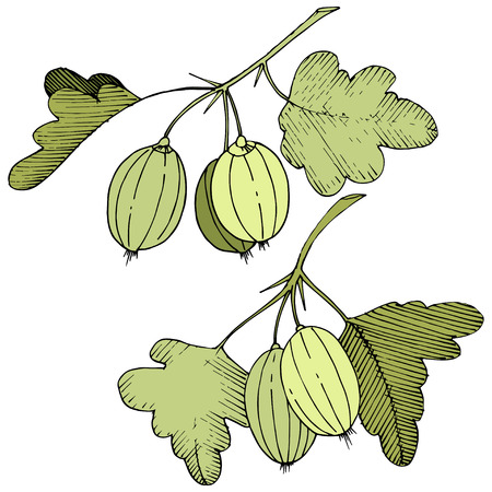 Vector Black and white engraved ink art. Isolated gooseberry illustration element. Green leaf. Leaf plant botanical garden floral foliage.