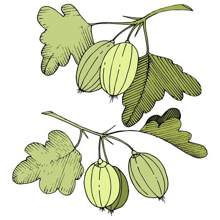 Vector Black and white engraved ink art. Isolated gooseberry illustration element. Green leaf. Leaf plant botanical garden floral foliage. Vector Illustration