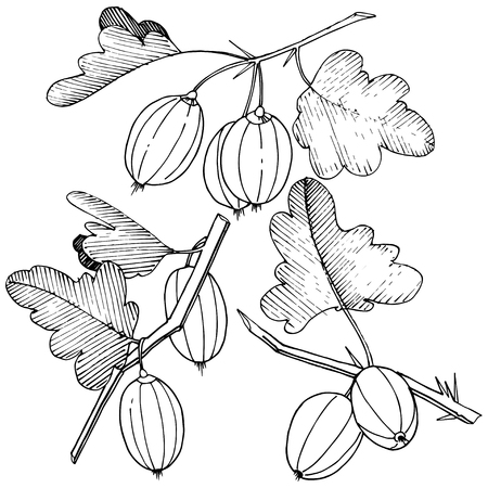 Vector Black and white engraved ink art. Isolated gooseberry illustration element. Leaf plant botanical gardenl foliage. Vector Illustration