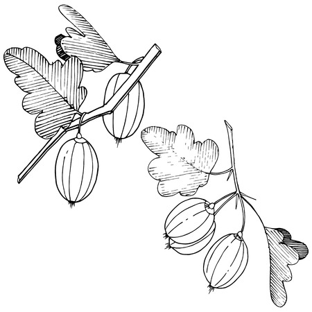 Vector Black and white engraved ink art. Isolated gooseberry illustration element. Leaf plant botanical gardenl foliage.