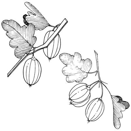 Vektor Schwarz-Weiß-gravierte Tintenkunst. Isoliertes Stachelbeere-Illustrationselement. Blattpflanze botanisches Gardenl-Laub.