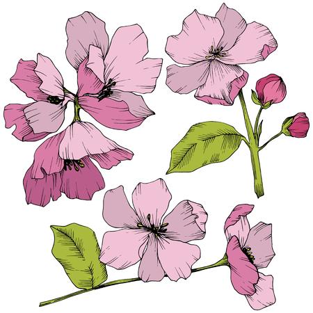 Vector Appe blossom floral botanical flowers. Pink and green engraved ink art. Wild spring leaf. Isolated apple blossom flower illustration element.