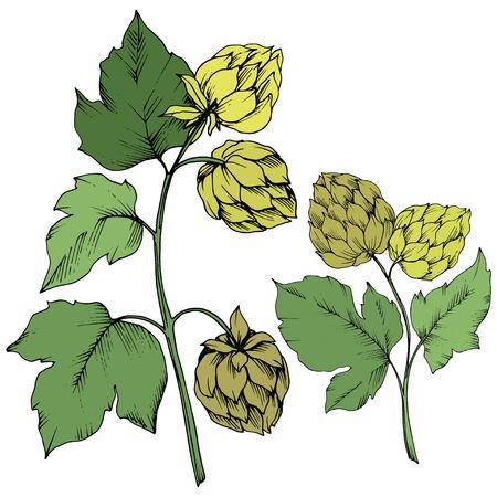 Vector Green engraved humulus ink art. Green leaf. Leaf plant botanical garden floral foliage. Isolated humulus illustration element. Illustration