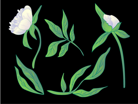 Vector White peony floral botanical flower. Wild spring leaf wildflower isolated. Black and white engraved ink art. Isolated peonies illustration element on black background. 일러스트