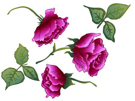 Vektor Lila Rose botanische Blumenblume. Wilde Frühlingsblatt Wildblume isoliert. Lila gravierte Tinte Art.-Nr. Getrenntes rosafarbenes Illustrationselement auf weißem Hintergrund.