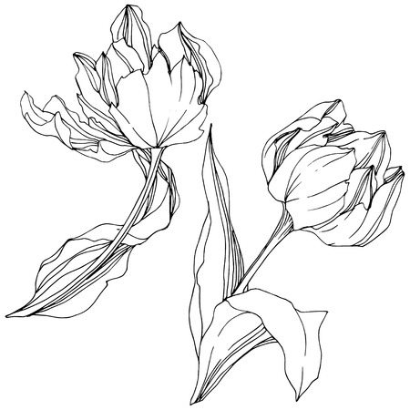 Vector Tulip Black and white engraved ink art. Floral botanical flower. Wild spring leaf wildflower isolated. Isolated tulip illustration element. Ilustración de vector