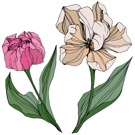 Vector Pink and white tulip engraved ink art. Floral botanical flower. Wild spring leaf wildflower isolated. Isolated tulip illustration element.