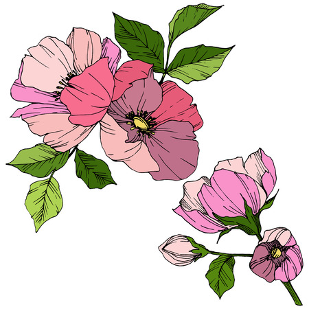 Vector Pink rosa canina. Floral botanical flower. Wild spring leaf wildflower isolated. Engraved ink art. Isolated rosa canina illustration element. 向量圖像