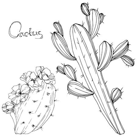 Vector Cactus. Floral botanical flower. Black and white engraved ink art. Isolated cacti illustration element on white background.