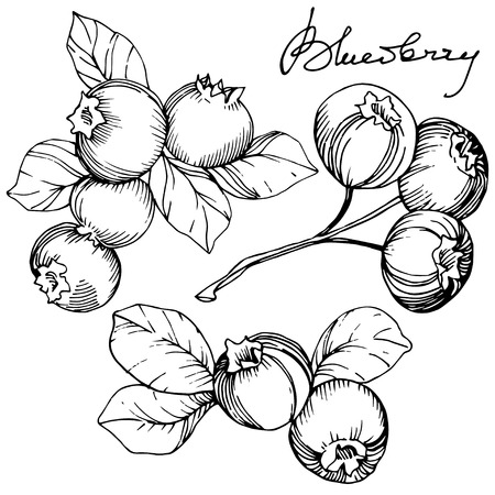 Vector Blueberry black and white engraved ink art. Berries and leaves. Leaf plant botanical garden floral foliage. Isolated blueberry illustration element.