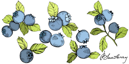 Vector Blueberry gree and blue engraved ink art. Berries and green leaves. Leaf plant botanical garden floral foliage. Isolated blueberry illustration element. Banco de Imagens - 125056441
