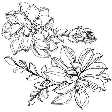 Vector Jungle botanical succulent flower. Wild spring leaf isolated. Black and white engraved ink art. Isolated succulents illustration element. Illustration