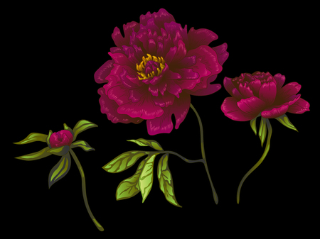 Vector Burgundy peony floral botanical flower. Wild spring leaf wildflower isolated. Engraved ink art. Isolated peonies illustration element on black background. Reklamní fotografie - 124993704
