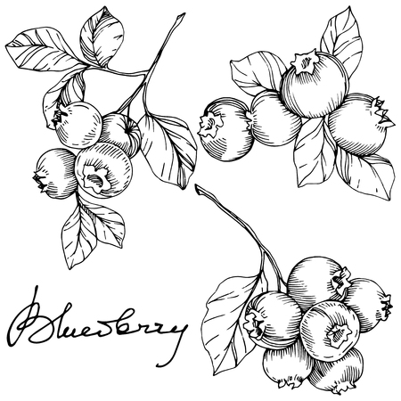 Vector Blueberry schwarz-weiß gravierte Tintenkunst Beeren und Blätter. Blattpflanze botanischer Garten florales Laub. Isoliertes Blaubeer-Illustrationselement.