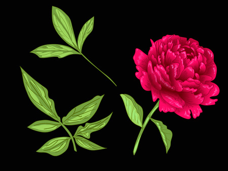Vector Red Peony floral botanical flower. Wild spring leaf wildflower isolated. Red and green engraved ink art. Isolated peony illustration element on black background.