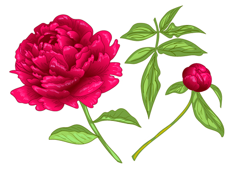 Vector Red Peony floral botanical flower. Wild spring leaf wildflower isolated. Red and green engraved ink art. Isolated peony illustration element on white background.