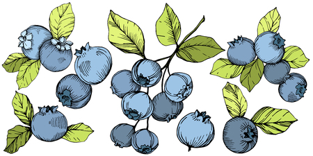 Vector Blueberry gree and blue engraved ink art. Berries and green leaves. Leaf plant botanical garden floral foliage. Isolated blueberry illustration element.