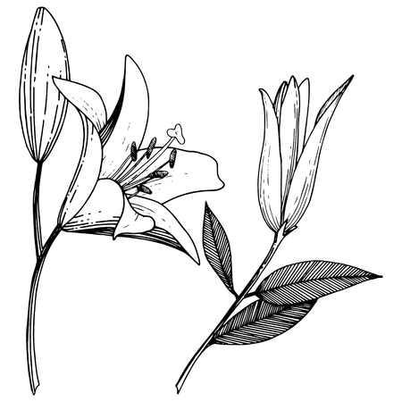 Vector Lily floral botanical flower. Wild spring leaf wildflower isolated. Black and white engraved ink art. Isolated lilies illustration element on white background. Ilustrace