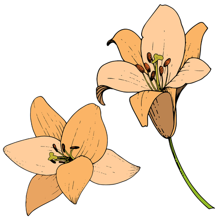 Vector Orange Lily floral botanical flower. Wild spring leaf wildflower isolated. Engraved ink art. Isolated lilies illustration element on white background. Ilustrace