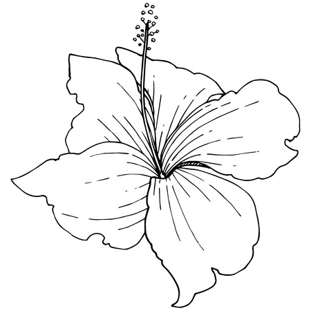Vector Hibiscus floral tropical flowers. Wild spring leaf wildflower isolated. Black and white engraved ink art. Isolated hibiscus illustration element on white background on white background.
