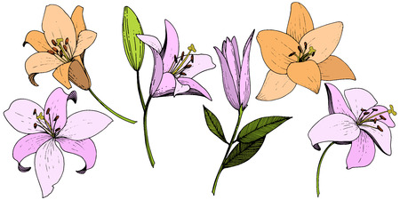 Vector Pink and orange lily floral botanical flower. Wild spring leaf wildflower isolated. Engraved ink art. Isolated lilies illustration element on white background. Stock Vector - 124771202