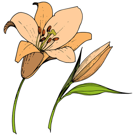 Vector Orange Lily floral botanical flower. Wild spring leaf wildflower isolated. Engraved ink art. Isolated lilies illustration element on white background. Illustration