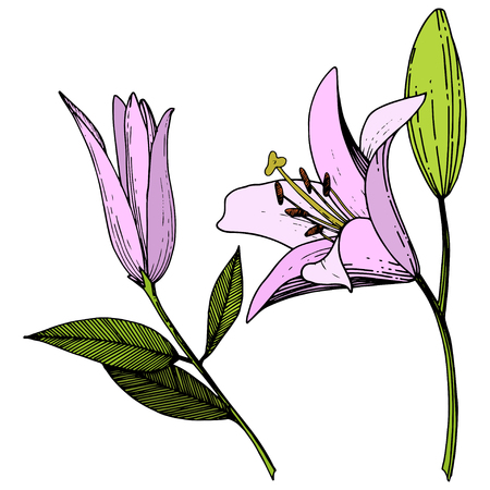Vector Pink Lily floral botanical flower. Wild spring leaf wildflower isolated. Engraved ink art. Isolated lilies illustration element on white background.
