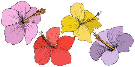 Vector Hibiscus floral tropical flowers. Engraved ink art. Isolated hibiscus illustration element on white background.