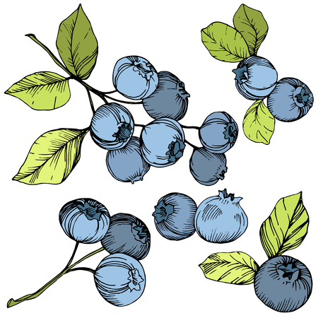 Vector Blueberry gree and blue engraved ink art. Berries and green leaves. Leaf plant botanical garden floral foliage. Isolated blueberry illustration element. Vecteurs