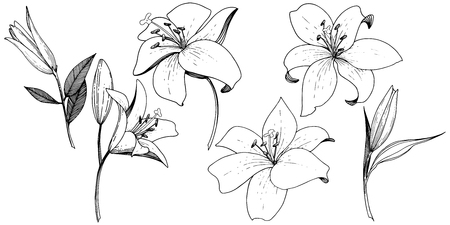 Vector Lily floral botanical flower. Wild spring leaf wildflower isolated. Black and white engraved ink art. Isolated lilies illustration element on white background. Illusztráció