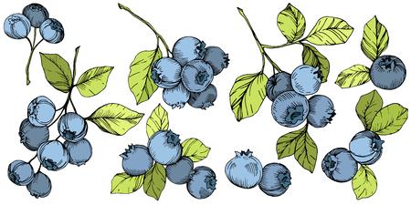 Vektor Blaubeere gree und blau gravierte Tintenkunst. Beeren und grüne Blätter. Blattpflanze botanischer Garten florales Laub. Isoliertes Blaubeer-Illustrationselement. Vektorgrafik