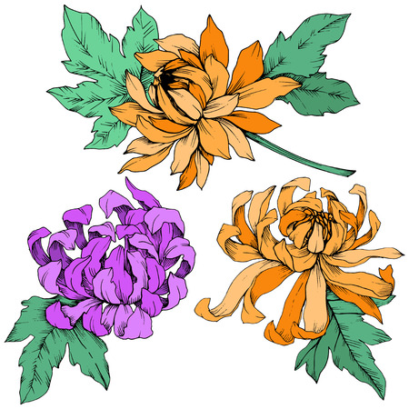 Vector Purple and orange Chrysanthemum floral botanical flowers. Engraved ink art. Isolated flower illustration element.