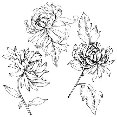 Vector Chrysanthemum floral botanical flowers. Wild spring leaf wildflower isolated. Black and white engraved ink art. Isolated flower illustration element. Ilustração Vetorial