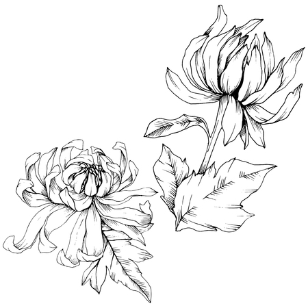Vector Chrysanthemum floral botanical flowers. Wild spring leaf wildflower isolated. Black and white engraved ink art. Isolated flower illustration element. Vector Illustration