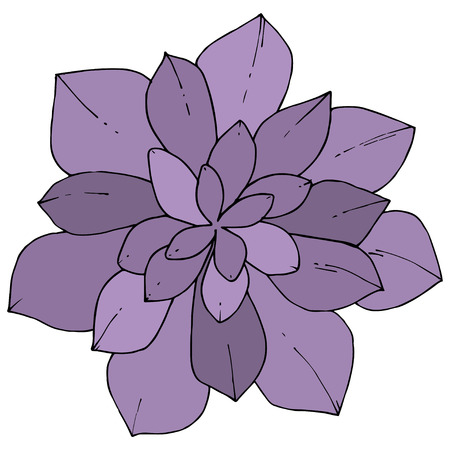Vector Violet Succulents floral botanical flower. Wild spring leaf wildflower isolated. Engraved ink art. Isolated succulents illustration element on whine background.