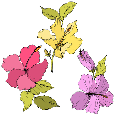 Vector Hibiscus floral botanical flower. Exotic tropical hawaiian summer. Engraved ink art. Isolated hibiscus illustration element on white background.