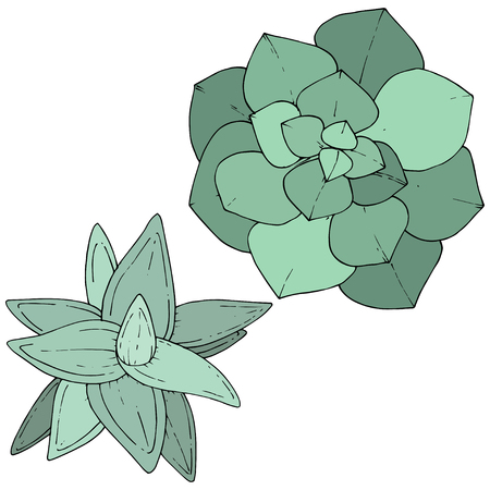 Vector Green Succulents floral botanical flower. Wild spring leaf wildflower isolated. Engraved ink art. Isolated succulents illustration element on whine background.
