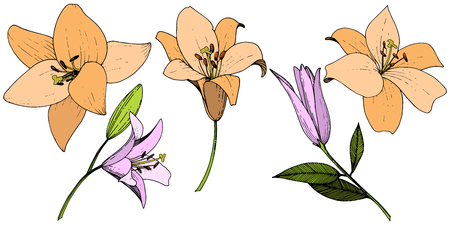 Vector Pink and orange lily floral botanical flower. Wild spring leaf wildflower isolated. Engraved ink art. Isolated lilies illustration element on white background.