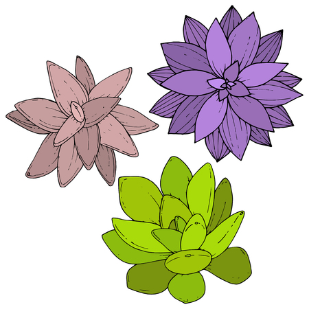 Vector Succulents floral botanical flower. Wild spring leaf wildflower isolated. Engraved ink art. Isolated succulents illustration element on whine background.