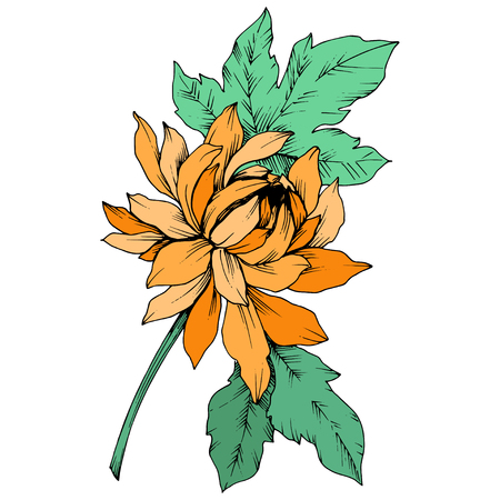Vector Orange Chrysanthemum floral botanical flowers. Wild spring leaf wildflower isolated. Engraved ink art. Isolated flower illustration element. Illustration
