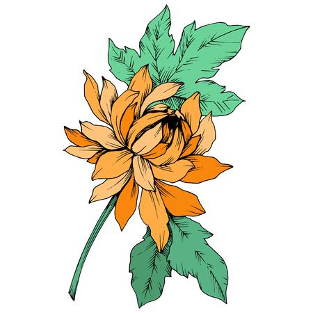 Vektor Orange Chrysantheme botanische Blumen mit Blumen. Wilde Frühlingsblatt Wildblume isoliert. Gravierte Tintenkunst. Isoliertes Blumenillustrationselement.