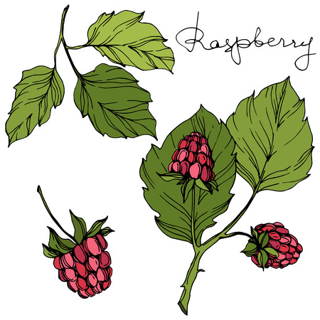 Vector Raspberry healthy food isolated. Red and green engraved ink art. Isolated berries illustration element on white background. Illustration