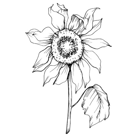 Vector Sunflower floral botanical flower. Wild spring leaf wildflower isolated. Black and white engraved ink art. Isolated sunflower illustration element.