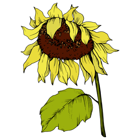 Vector Sunflower floral botanical flower. Wild spring leaf wildflower isolated. Yellow and green engraved ink art. Isolated sunflower illustration element. Reklamní fotografie - 123122929