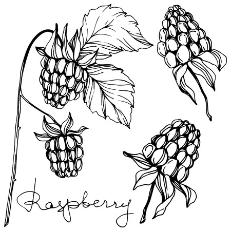 Vector Raspberry healthy food isolated. Black and white engraved ink art. Isolated berries illustration element on white background. Stock Illustratie