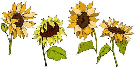 Fleurs botaniques florales de tournesol de vecteur. Fleur sauvage de feuille de printemps sauvage isolée. Art d'encre gravée jaune et verte. Élément d'illustration de tournesol isolé.
