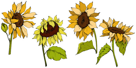 Vector Sunflower floral botanical flowers. Wild spring leaf wildflower isolated. Yellow and green engraved ink art. Isolated sunflower illustration element. 일러스트