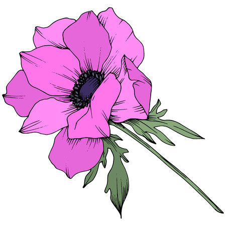 Vector Pink Anemone floral botanical flowers. Wild spring leaf wildflower isolated. Black and white engraved ink art. Isolated anemone illustration element on white background.